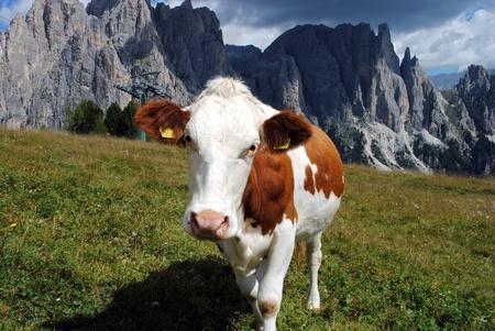 mucca marrone vedendo fotocamera con sfondo alpi