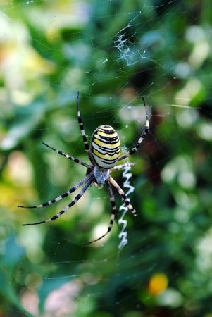 Argiope bruennichi, arachnid also called tiger spider Stock Photo