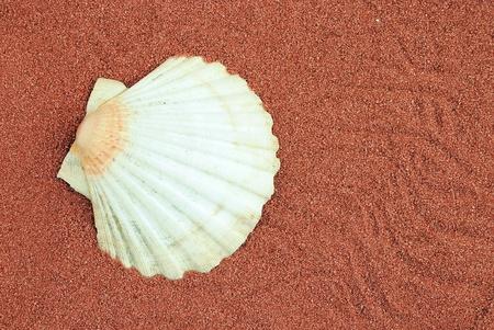 guscio d'ostrica sulla sabbia rossa, utile come sfondo