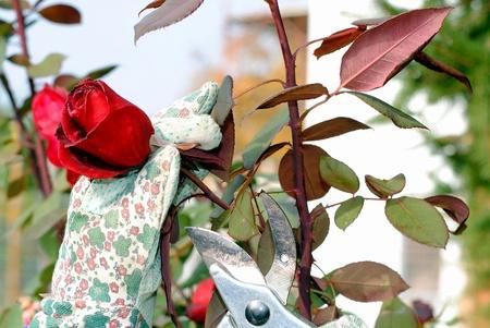a mano con finiture in giardino una rosa guanti Archivio Fotografico