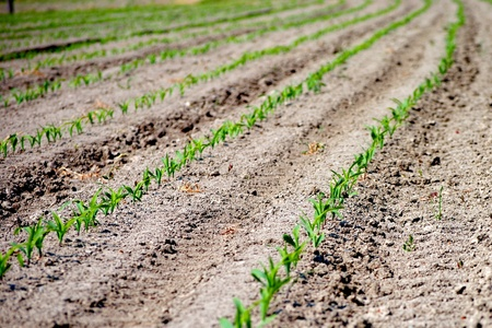 rows of green seedling in a wheat field Stock Photo - 11452448