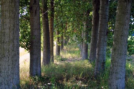 shady: shady path through the trees in farmlands
