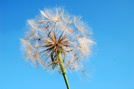 high definition dandelion flower, blue sky on background photo