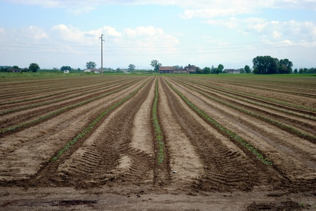 rows of green seedling in a tomatoes field photo