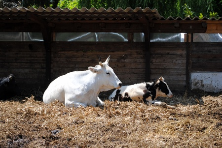 white and black cows  in a cowshed, concept of captivity Stock Photo - 13568940