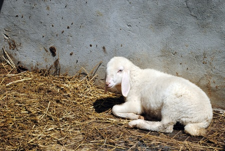 white sheep in a cowshed, concept of captivity Stock Photo - 13616424