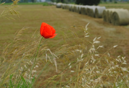 red poppy with farmlands on background photo