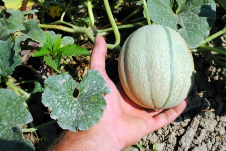 man hand with an organic melon in the garden