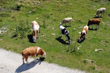mucche bianche e marrone in un prato di erba verde