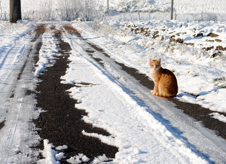 small orange cat in a farmland snowy path