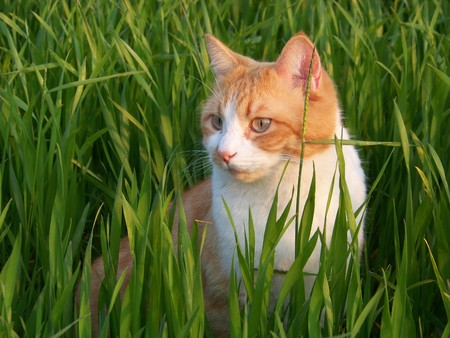 white and orange male cat in the grass