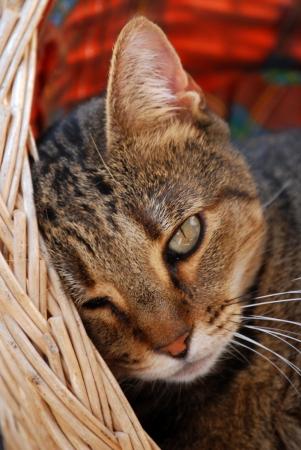 gato atigrado: Retrato de joven gato atigrado