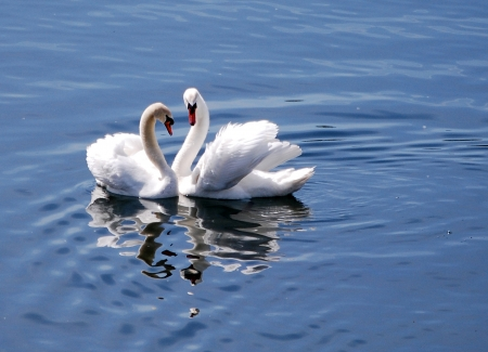 birds lake: Two mute swans