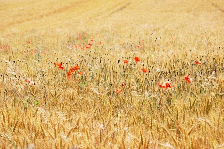 Poppies in wheat photo