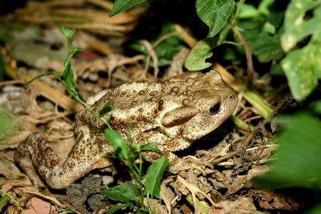 quadruped: Toad