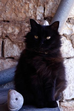 felid: the black cat