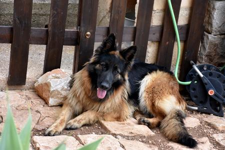 canid: German Shepherd Stock Photo