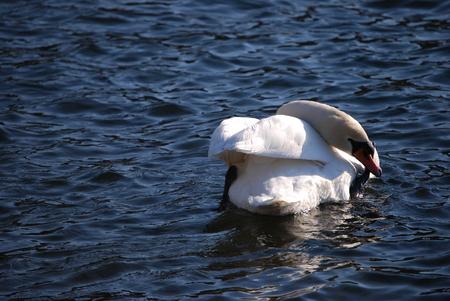 palmiped: Mute Swan Stock Photo
