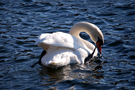 palmiped: Swan Stock Photo