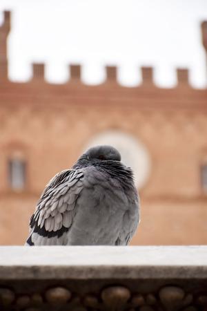 the ornithology: Pigeon
