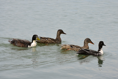 palmiped: Ducks in the lake of Chiusi