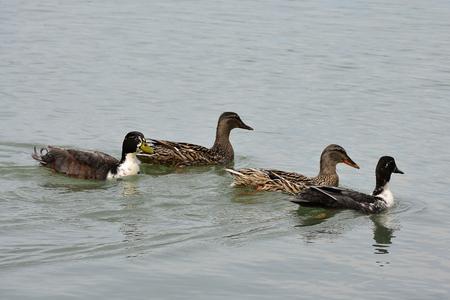 palmiped: Ducks in the lake of Chiusi