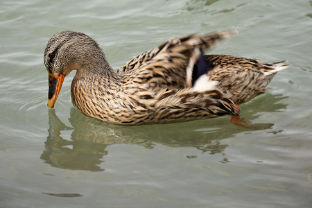 Duck in the lake of Chiusi
