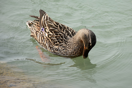 palmiped: Duck in the lake of Chiusi