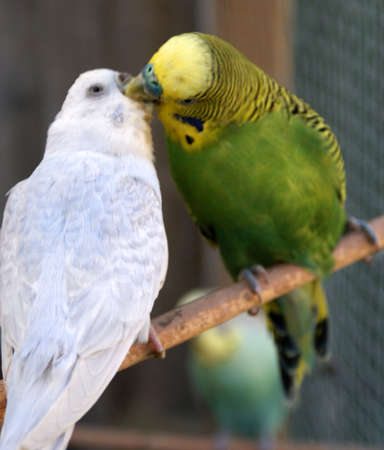 kissing parakeets photo