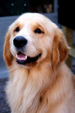 labrador teeth: labrador