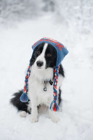 Black and white border collie dog in a cap in winter Stock Photo