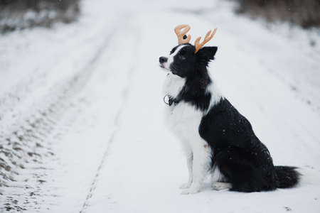 Black and white birder collie dog with deer horns in winter
