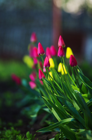 yellow earth: pink and yellow tulips on earth
