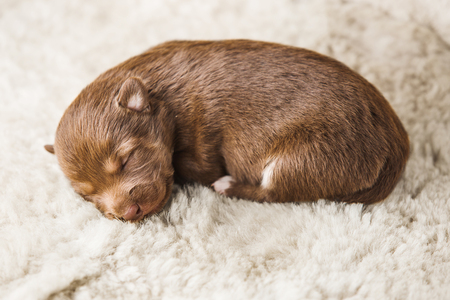 Smallest puppy lying on white furry coverlet in boarding home