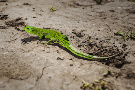 Bright green lizard close-up on ground Stock Photo