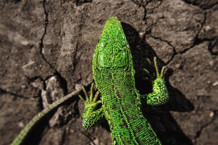 salamandre: Tête, partie du torse et de la queue de l'iguane sur la terre sèche fissurée