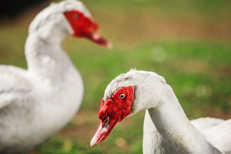 caruncle: Two white Muscovy bird with red wattles on grassland Stock Photo