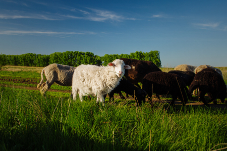 sheepfold: White and black sheep eating grass. Domestic animals on sheepfold.