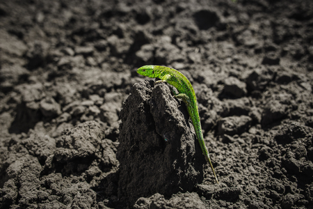 Bright green lizard close-up on ground Stock Photo