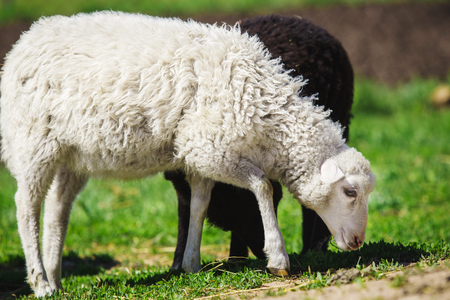 White and black sheep eating grass. Domestic animals on sheepfold.