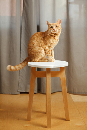 Cute red cat standing on chair going to stol something Stock Photo