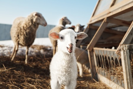 little white fluffy lamb sheep among adults. An enclosure for cloven-hoofed animals. The fishery of mutton in rural areas. Stock Photo