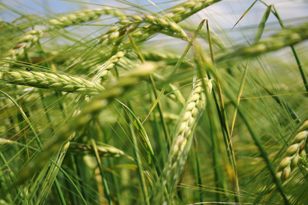 green wheat field. 版權商用圖片
