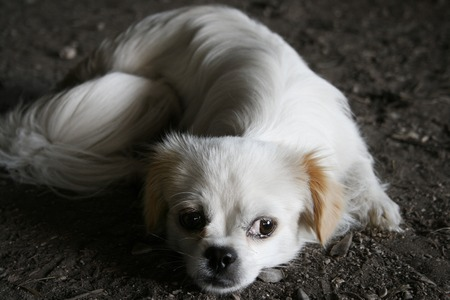 sad white puppy lying on the ground.