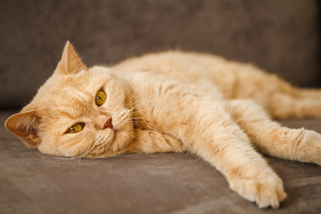 red British cat lying on the sofa. A pet with a blissful face. Standard-Bild