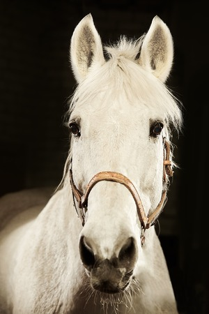 vertical frontal portrait of white horse on black isolated background. Reklamní fotografie