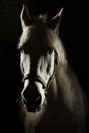 Studio contour backlight shot of white horse on isolated black background