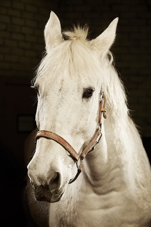 Isolated portrait of white horse on black background Stock Photo - 109847476