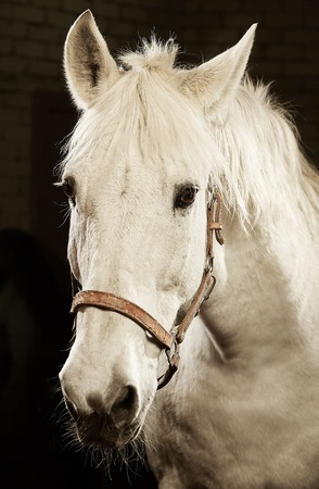 Vertical portrait of white horse on black isolated background Stok Fotoğraf