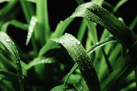 Close up image of cymbopogon nardus on black background, after rain. Stock fotó